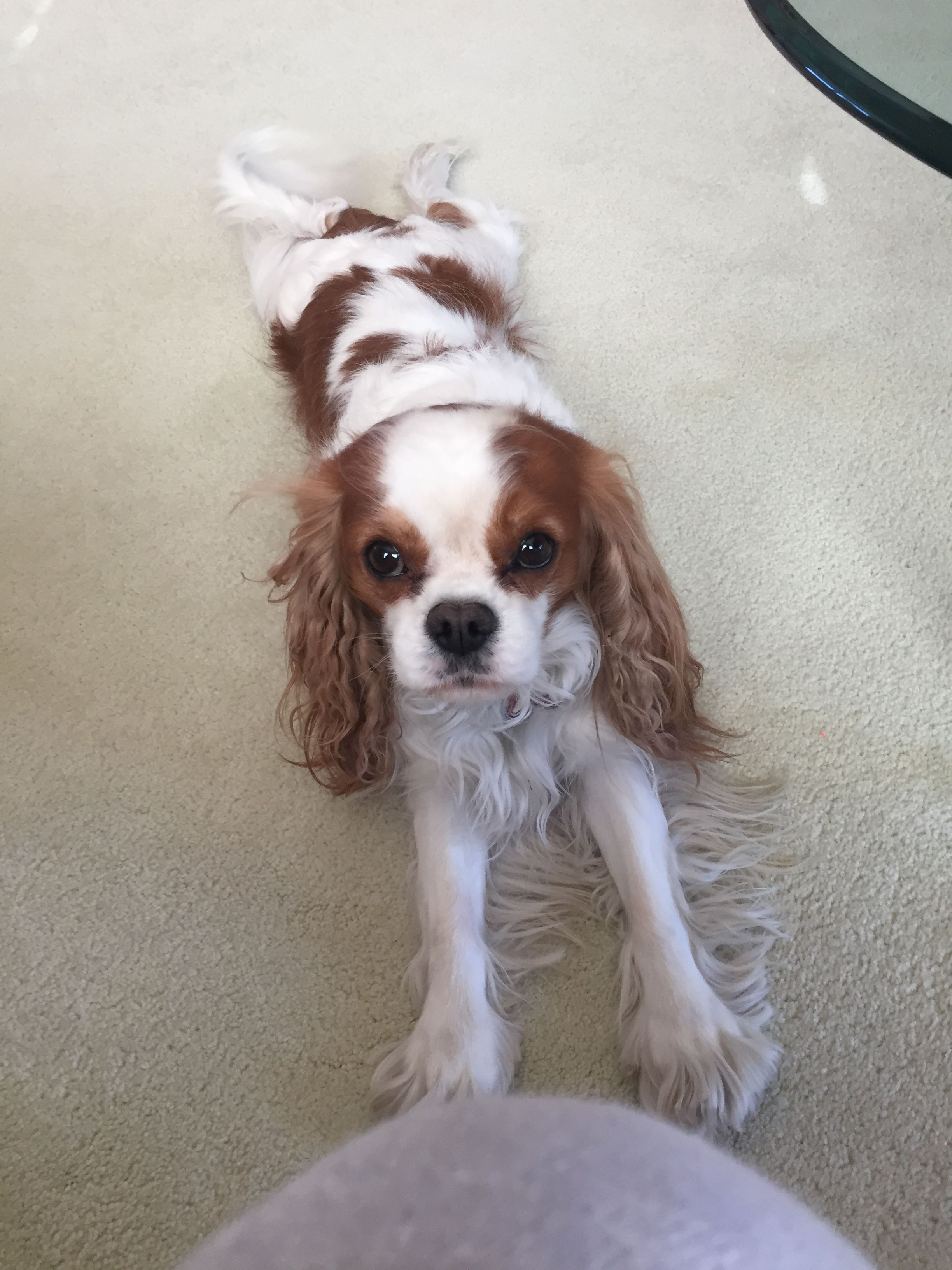 Can't wait for my Birthday Pawty on May 5! King spaniel