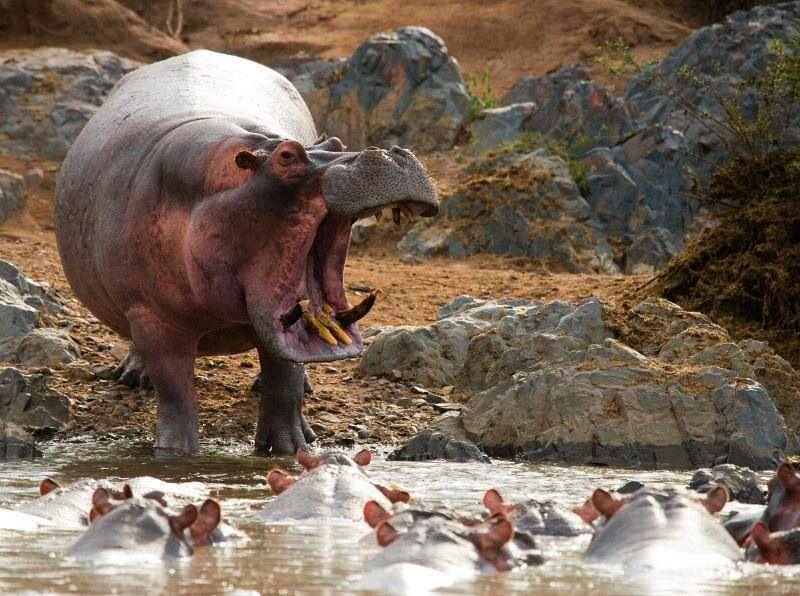 Hippos Hippopotamus, Cute hippo, Baby hippo