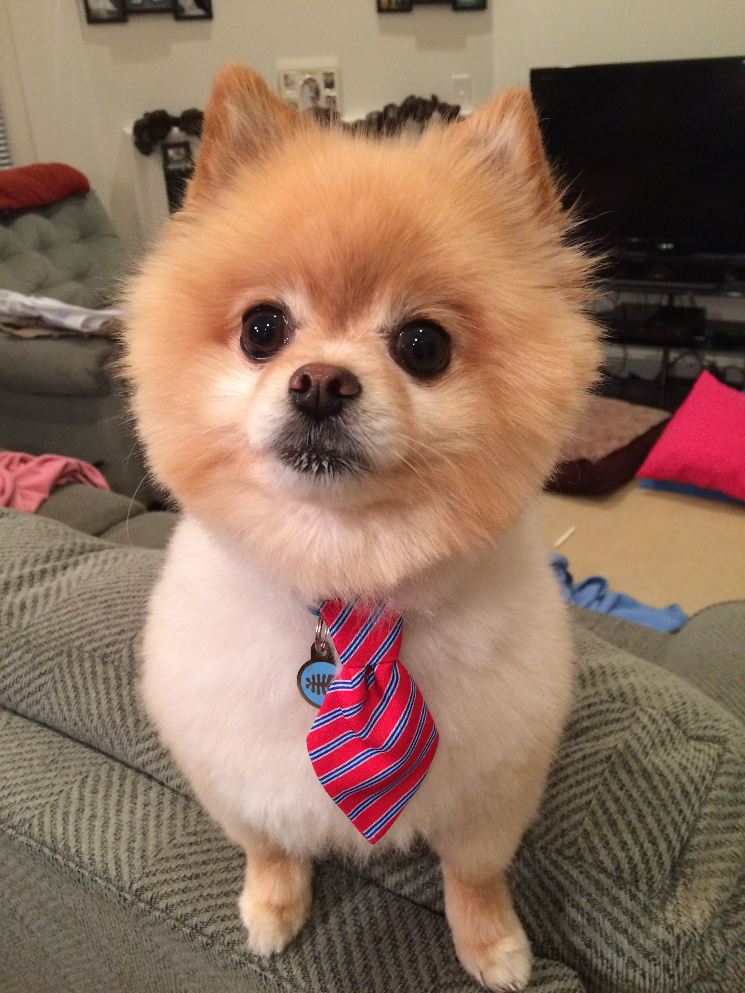 Dapper Boy Groomed At Petco Pomlife Pomeranian Cute Dogs