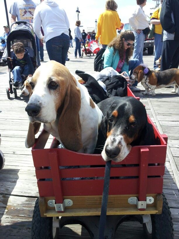 Lucy and Max at Ocean CIty Nj 2013 board waddle Hound