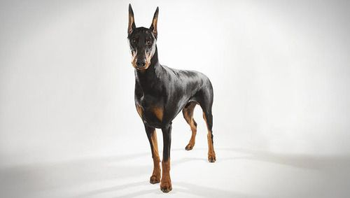 Doberman Pinscher Dog Red Doberman Pinscher Doberman Doberman