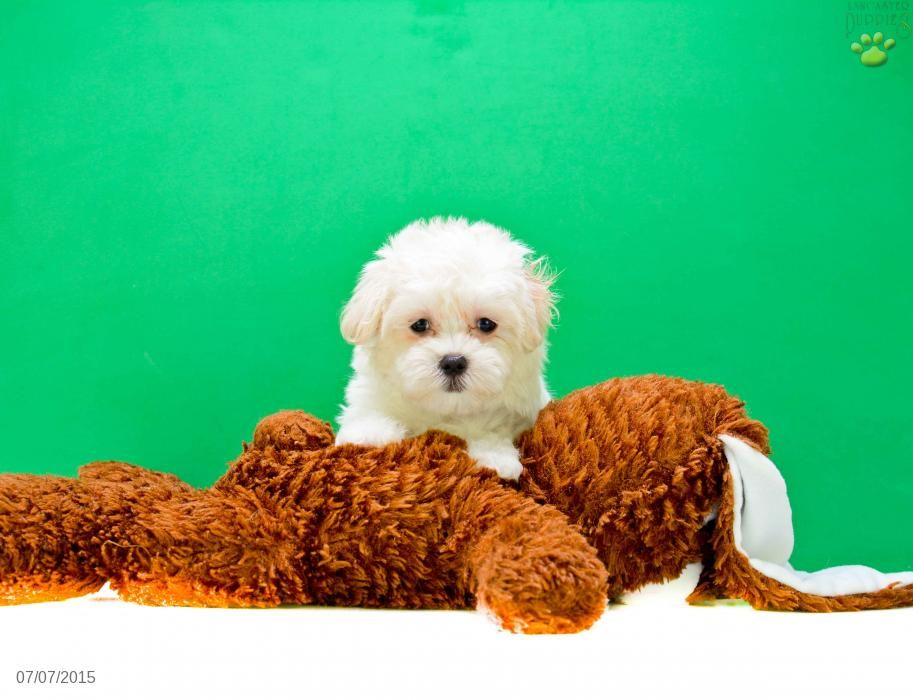 Maltipoo puppy for sale in ohio maltipoo puppy puppies