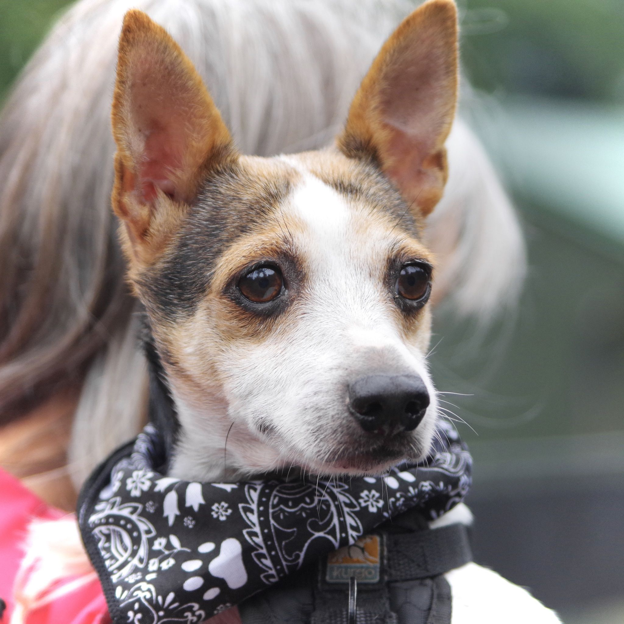 Adopt Oreo on (With images) Animal rescue, Pet adoption