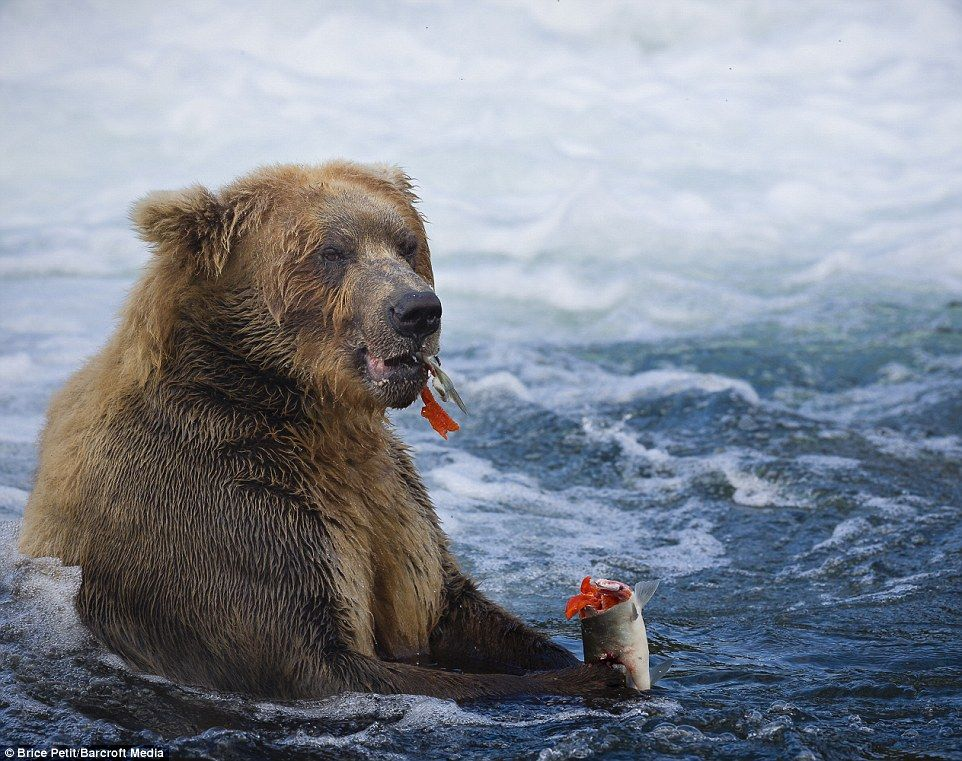 Just Like Eating An Ice Cream This Giant Grizzly Bear Enjoys A Bit Of Respite From Fishin Brown Bear Grizzly Bear Ursus