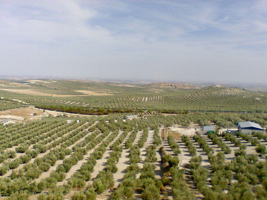 La importancia en Andalucía del olivar que produce el aceite de oliva