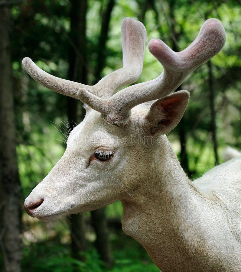 Albino Fallow Deer This Is A Male Albino Fallow Deer Ad Deer Fallow Albino Male Deer Ad Albino Deer Fallow Deer Albino Animals