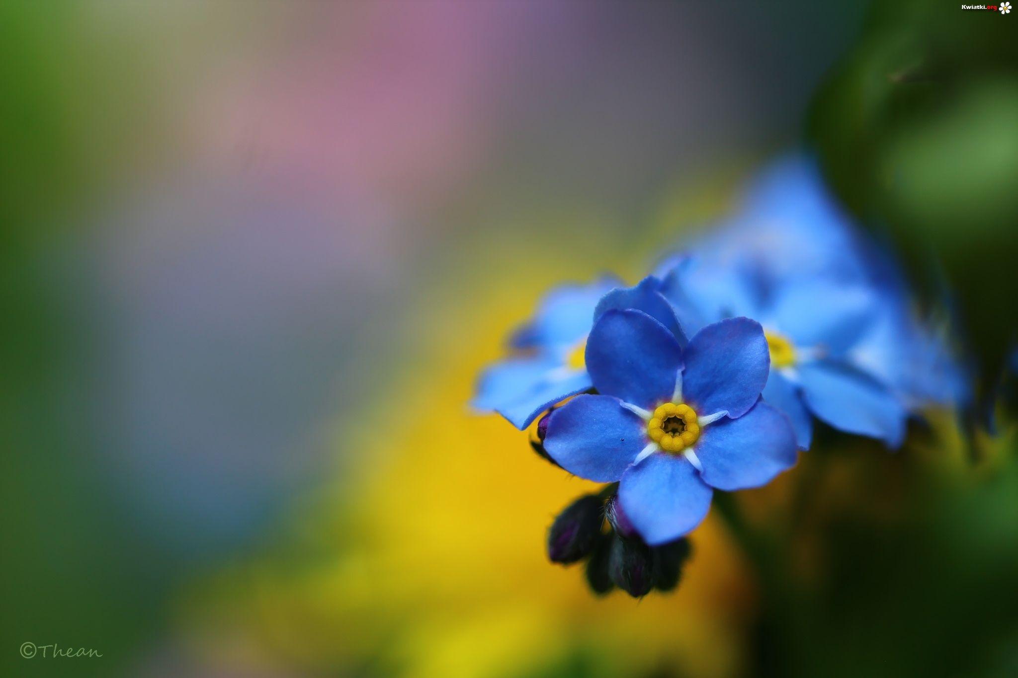 Niezapominajki Niebieskie Kwiaty Zdjecia Flowers Art Photography Plants