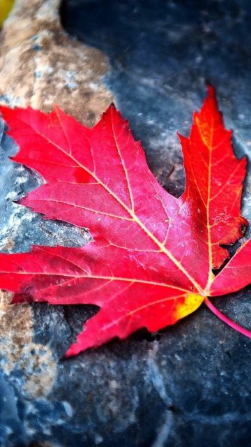 Red Maple Leaf Mobile Wallpaper Download Free Mobile