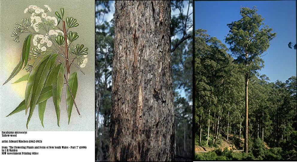 Eucalyptus Microcorys - Tallowood.