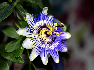 Relax With Passionflower Passion Flower Passiflora Caerulea City Garden