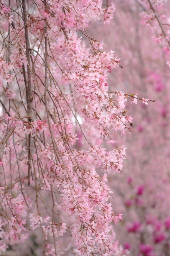 Weeping Cherry Trees At Reynolda Gardens Weeping Cherry Tree Pink Blossom Flowering Trees