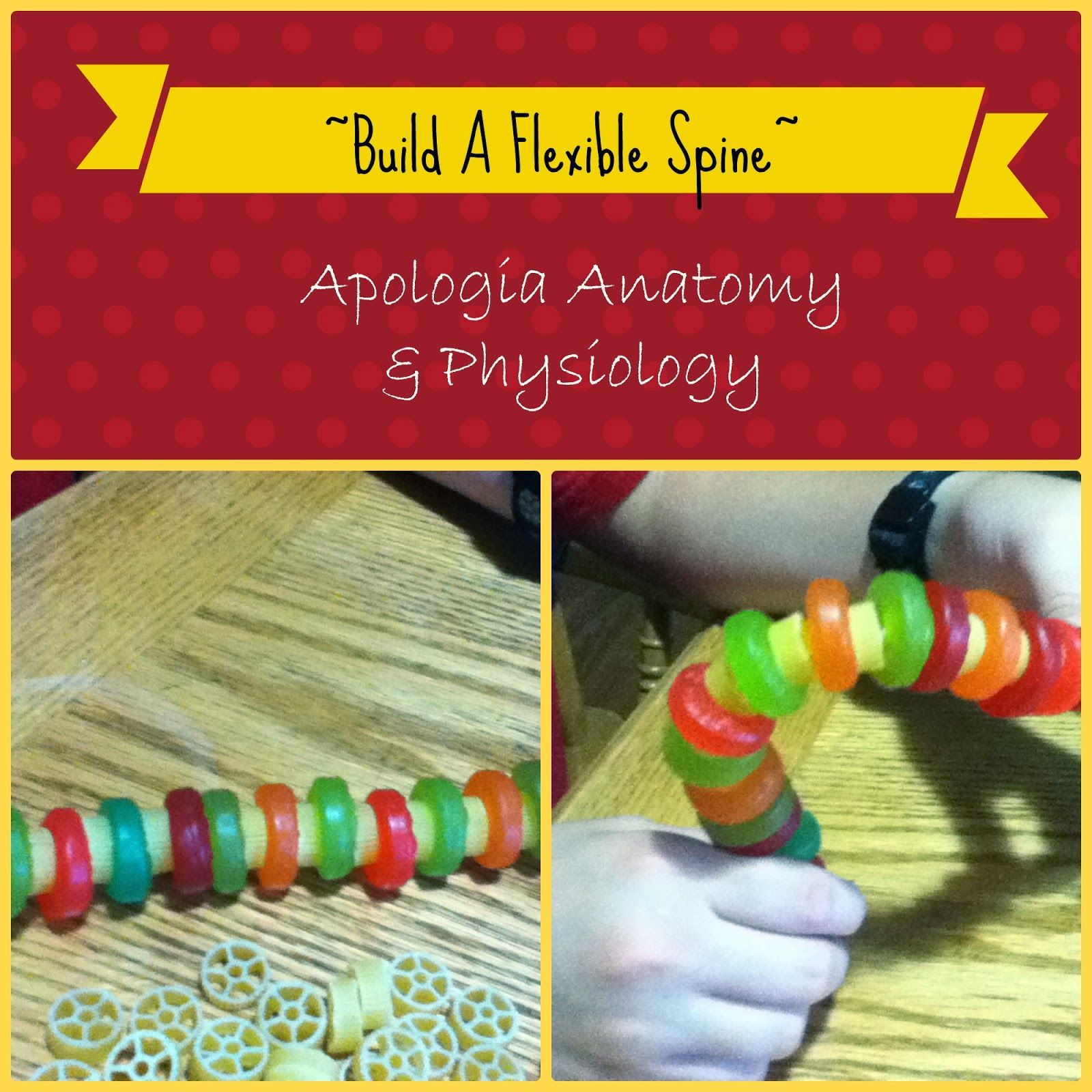 Be The One Apologia Anatomy Amp Physiology Unit Two Build A Spine Homeschool