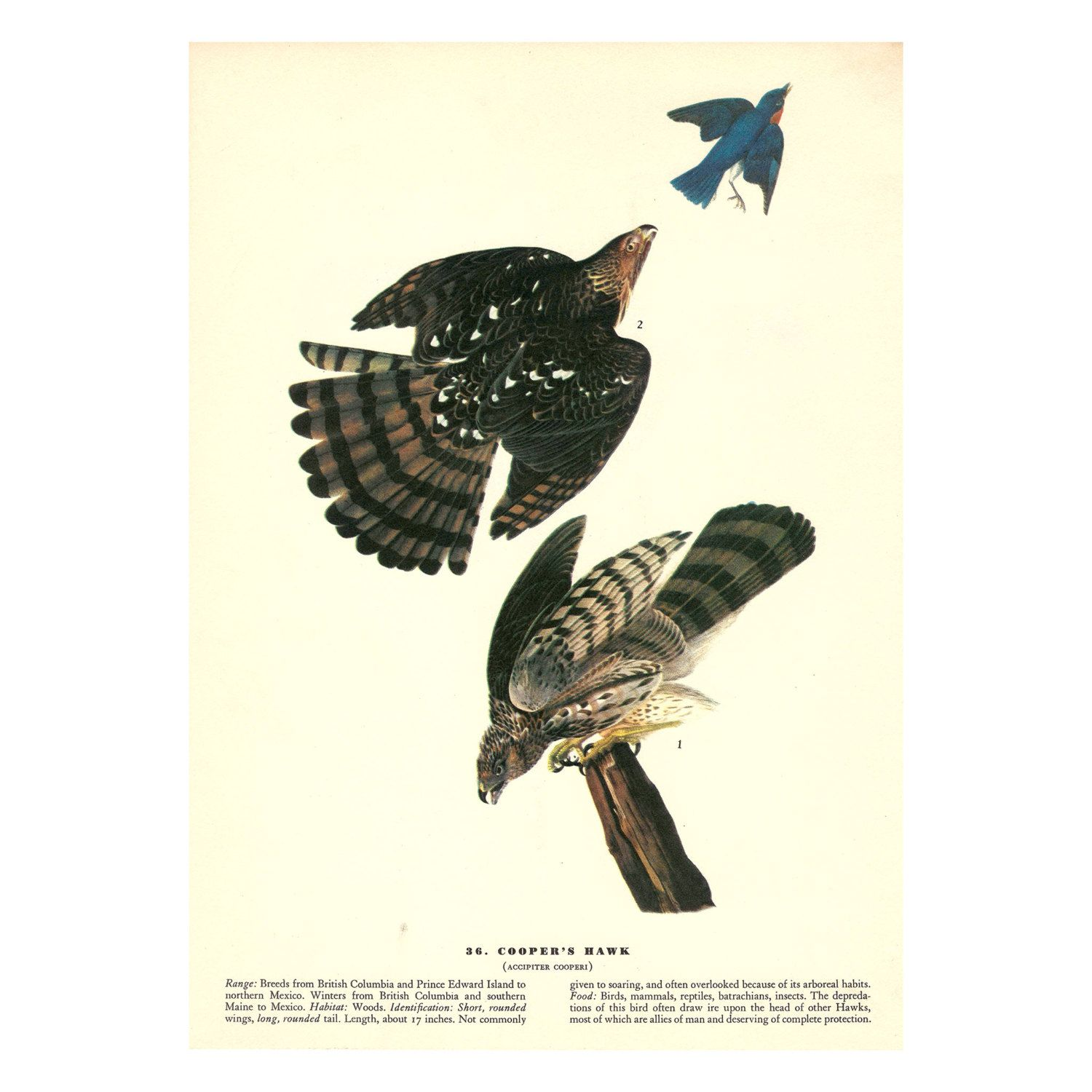 Coopers Hawk Print Of Vintage John James Audubon Birds America Full Color On Photo Paper Accipiter Cooperi By BadPennysVintage Etsy