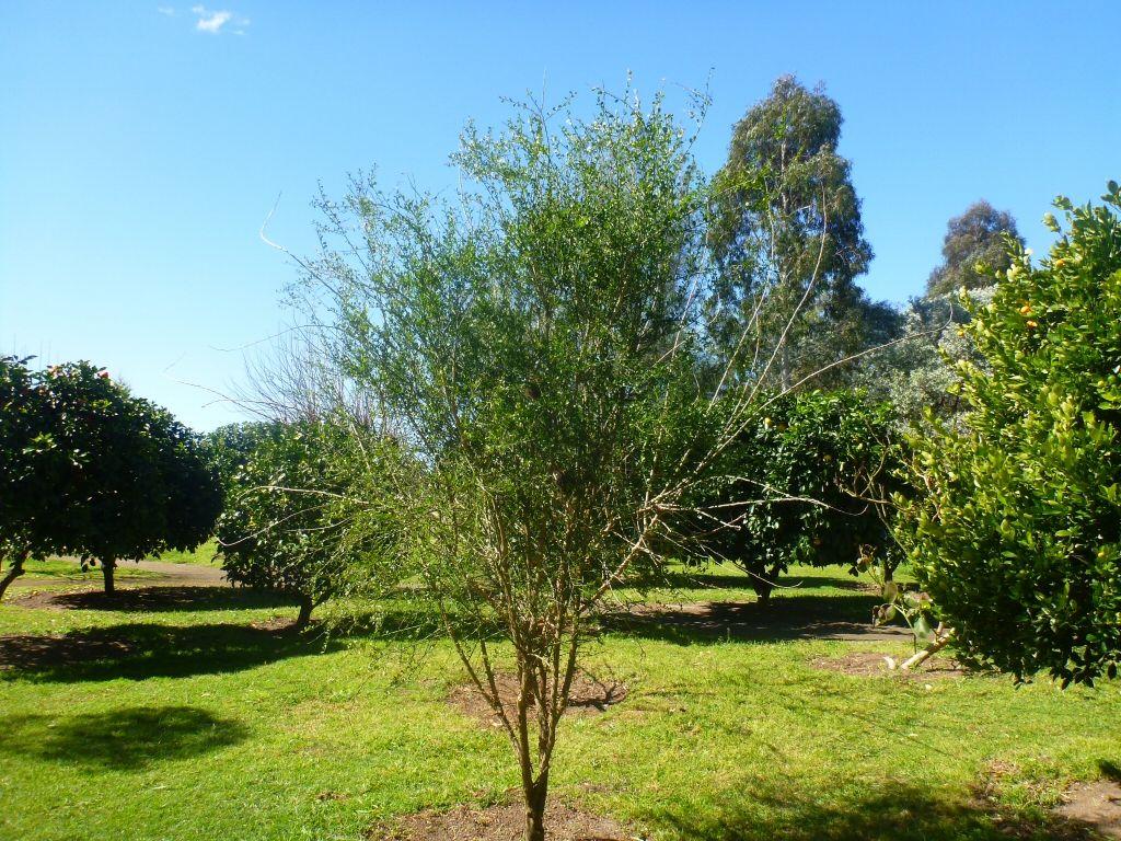The Australian Finger Lime Plant Citrus Australasica Is A Thorny Understorey Shrub Or Small Tree Of Lowland Subtrop Landscape Plan Citrus Trees Garden Shrubs