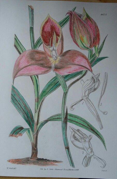 Disa Grandiflora Aka Red Mountain ColouringColoring BooksKew GardensFlowering