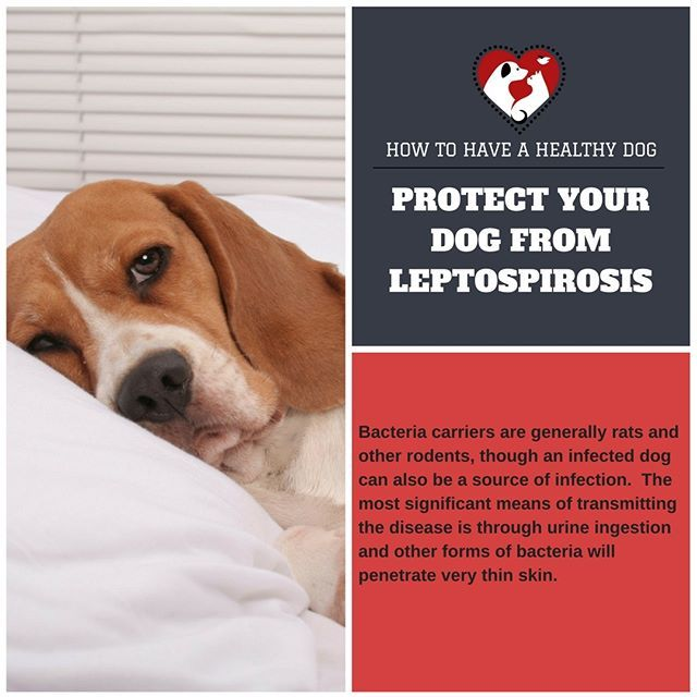 Part 13 of #howtohaveahealthydog is all about leptospirosis. (Note: Always consult your vet for professional medical advice for your dog's health.) #howtohaveahealthydog #leash #collar #seatbelt #dogleashes #dogcollars #leashbag #dogtraining #dogpottybells #dogs #dogstagram #dogseatbelt #dogsofinstagram #puppiesofinstagram #puppystagrams #puppycraze #puppies #instadog #instadogs #love #petsloversclub #dogphotography #petstagram #dailydog #dogoftheday