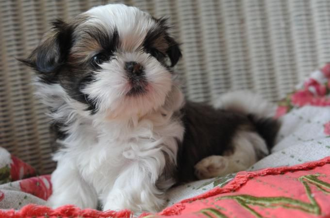 Teacup Dogs Tiny Dog Breeds With Huge Personalities Teacup Dogs Daily In 2020 Tiny Dog Breeds Teacup Puppies Tea Cup Dogs