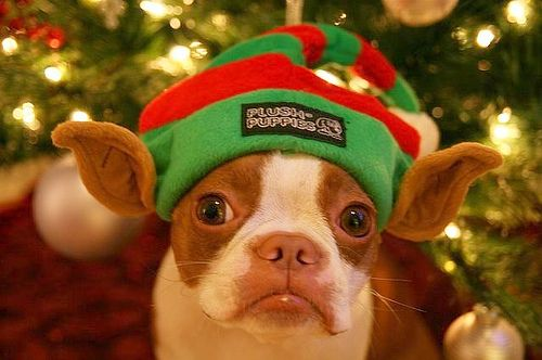 christmas boston terrier elfkin