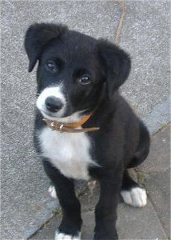 Labrador Cross Border Collie Puppy Cutest Thing Ever Border