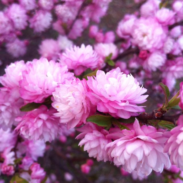 My flowering almond bush i love it when it blooms flora and my flowering almond bush i love it when it blooms mightylinksfo