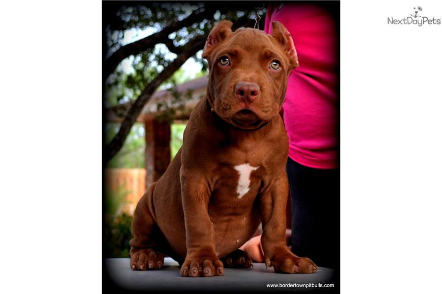 Available Red Nose Pitbull Puppy For Sale Only  On A Neuter