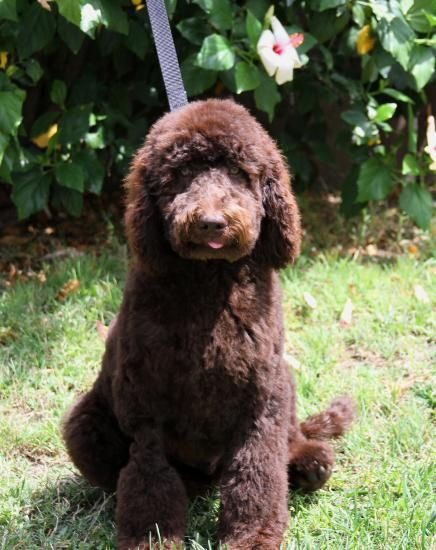 Labradoodle Puppies For Sale Southern California Australian