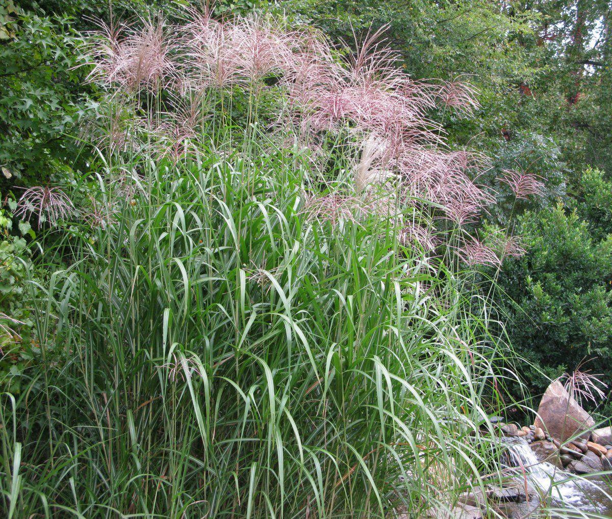 miscanthus giganteus als Kübelpflanze und Sichtschutz geeignet