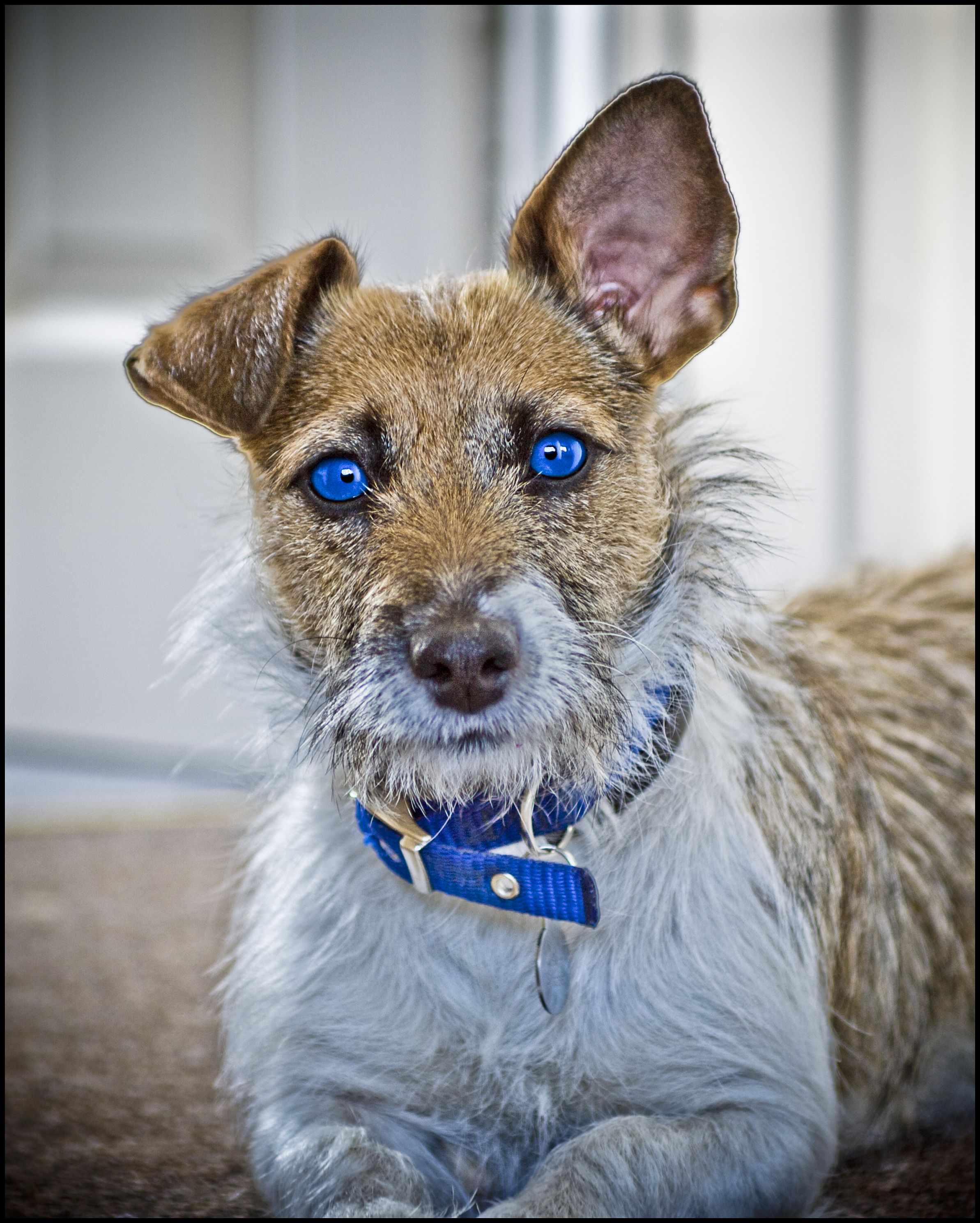 Blue eyed Jack Russell | My dogs. | Pinterest | Russell terrier ...