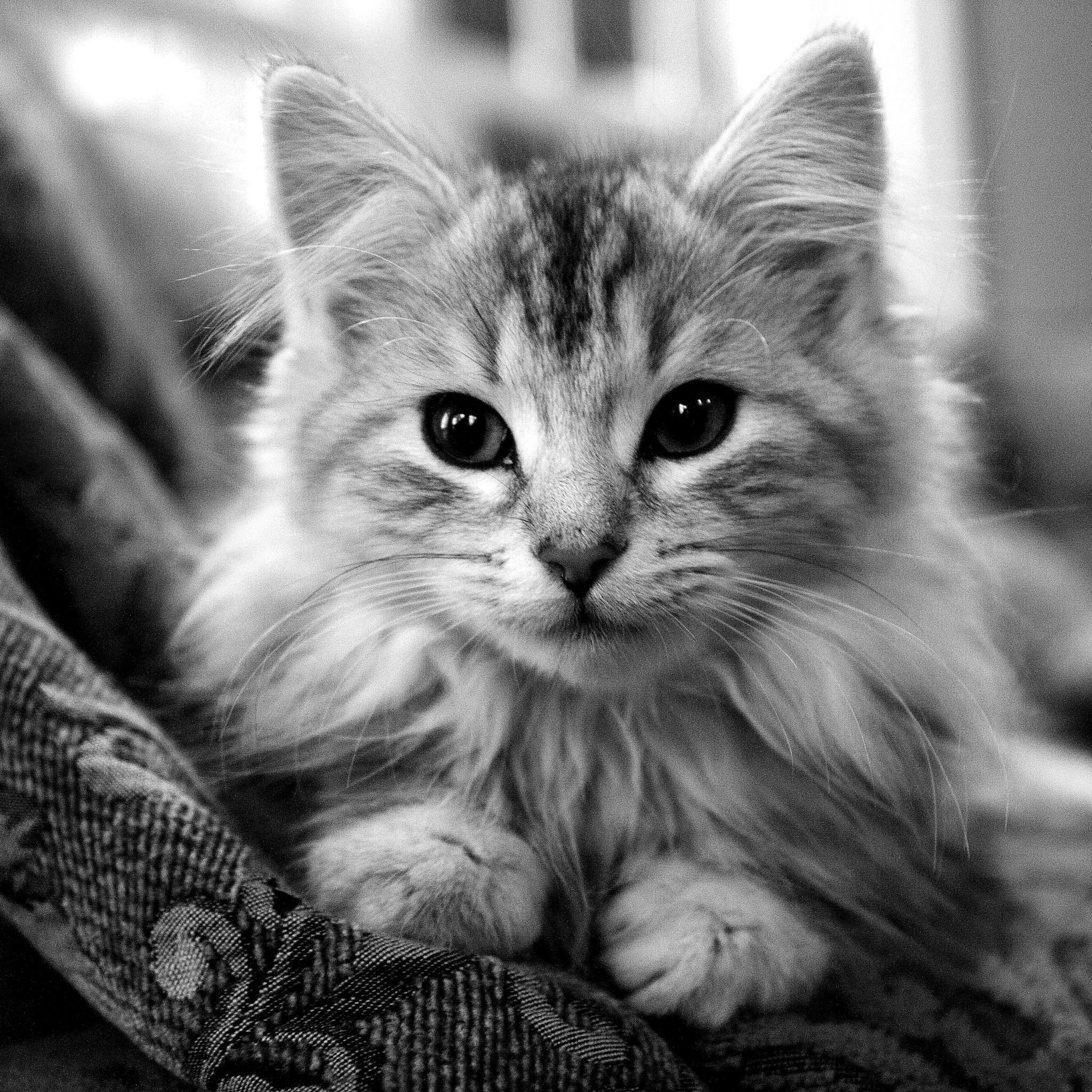 Image detail for Beautiful Cats iPad 3 Wallpapers HD