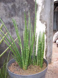 6 live plant SUPER RARE Sansevieria Schweinfurthii