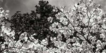 Cuadro Spring Dogwood II