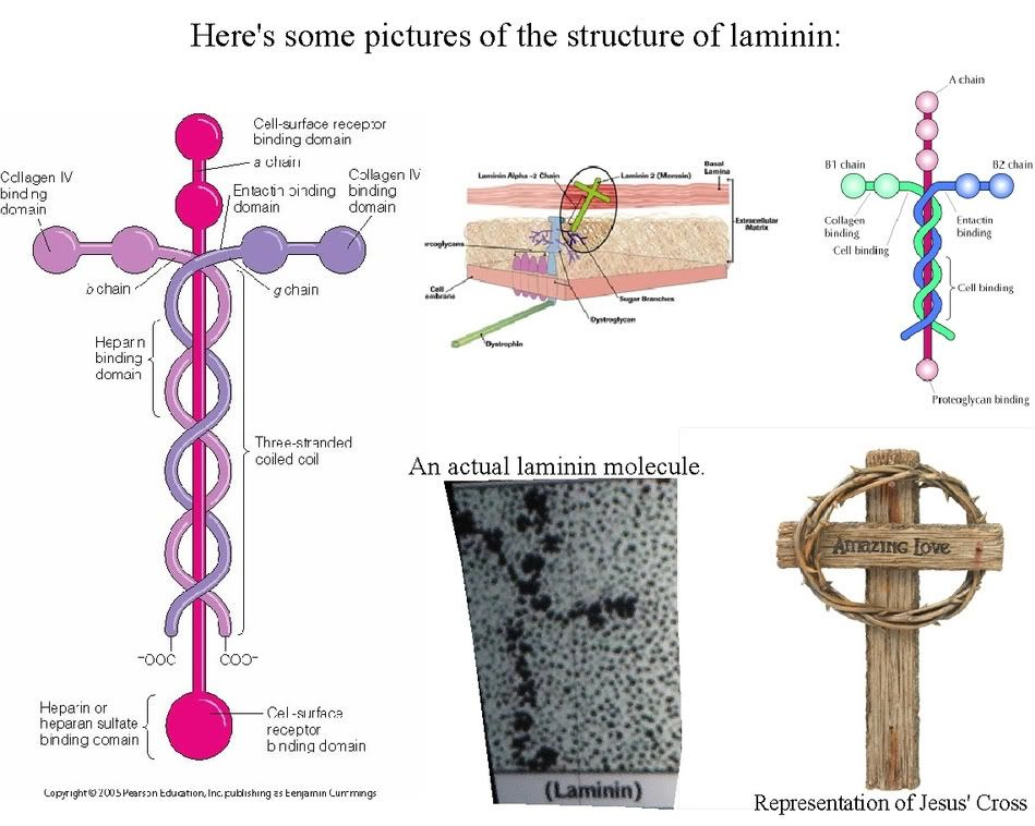 love me some laminin the cell adhesion molecule in him all rh pinterest com laminin protein molecule diagram Where to Get a Laminin Cross