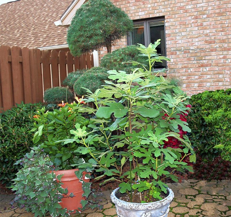 You Also Can Grow Fig Trees In Containers Good Tips Potted Trees Outdoor Gardens Garden Shrubs