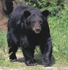 Alabama State Animal Black Bear Anniston Al And