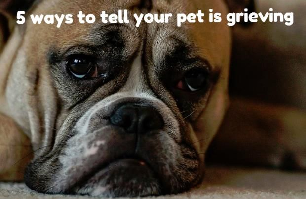 5 Ways To Tell Your Pet Is Grieving Dog Fighting Dogs Pets