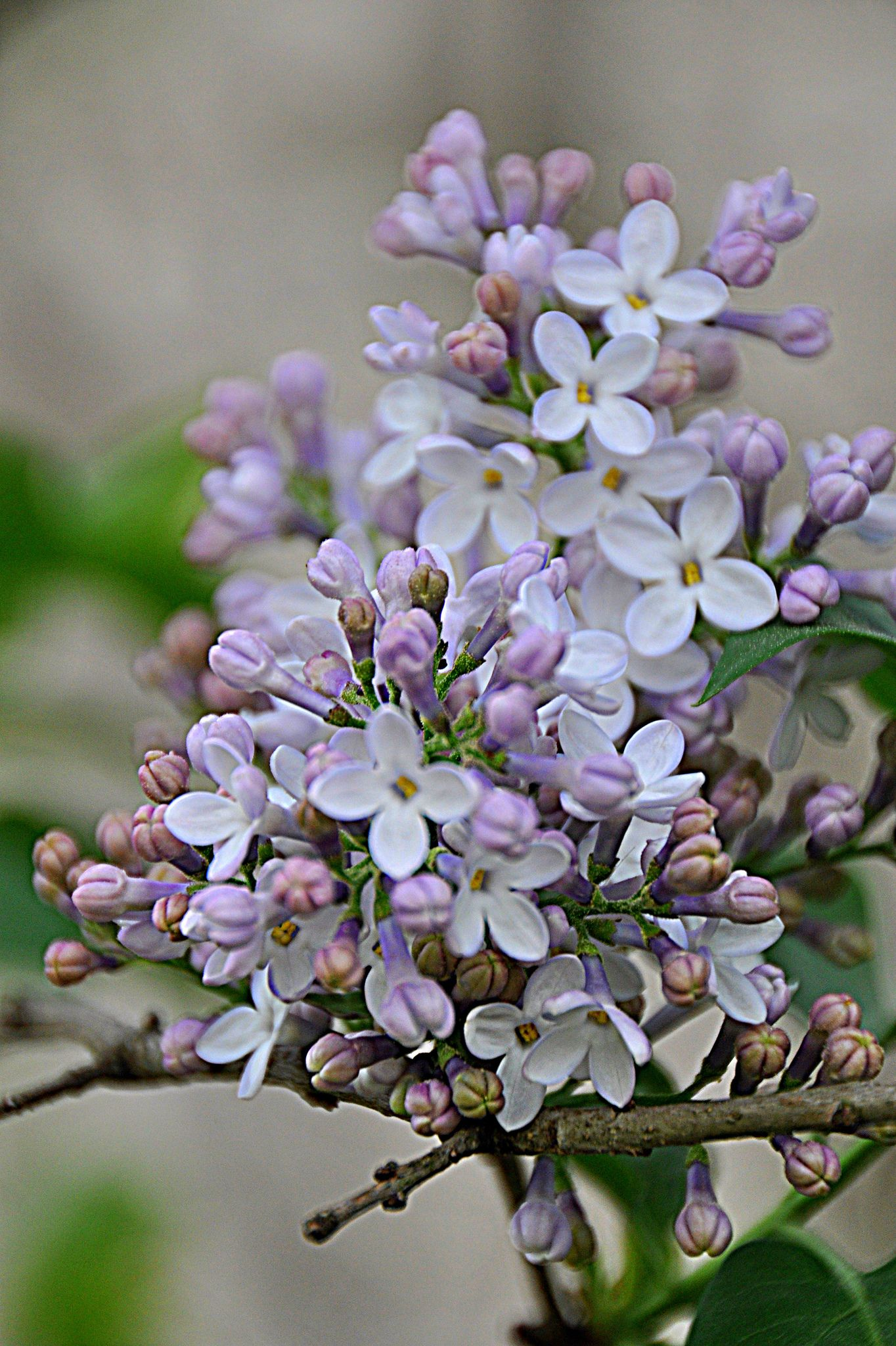 Dsc 0852a Lilac Flowers Lilac Lilac Gardening