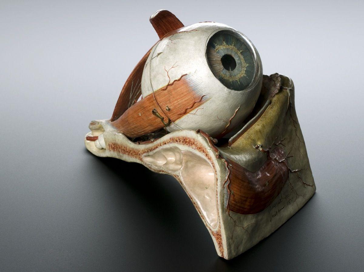 Modelo de ojo humano (Francia, 1870) | Auzoux | Pinterest | Science ...