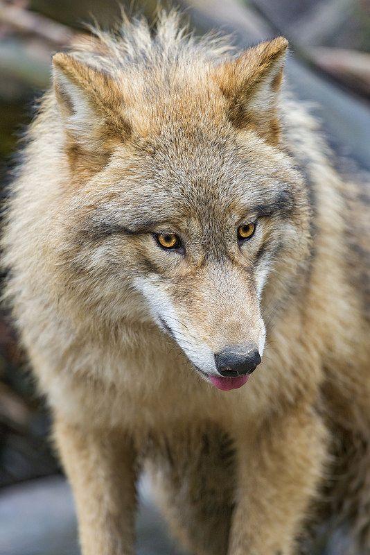 young Tibetan wolf