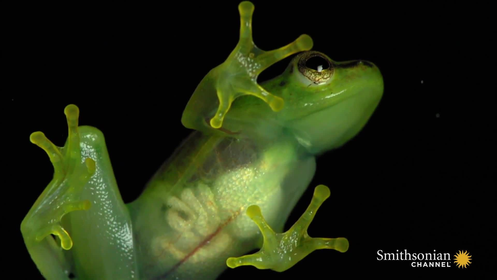 A Look Inside This See Through Frog