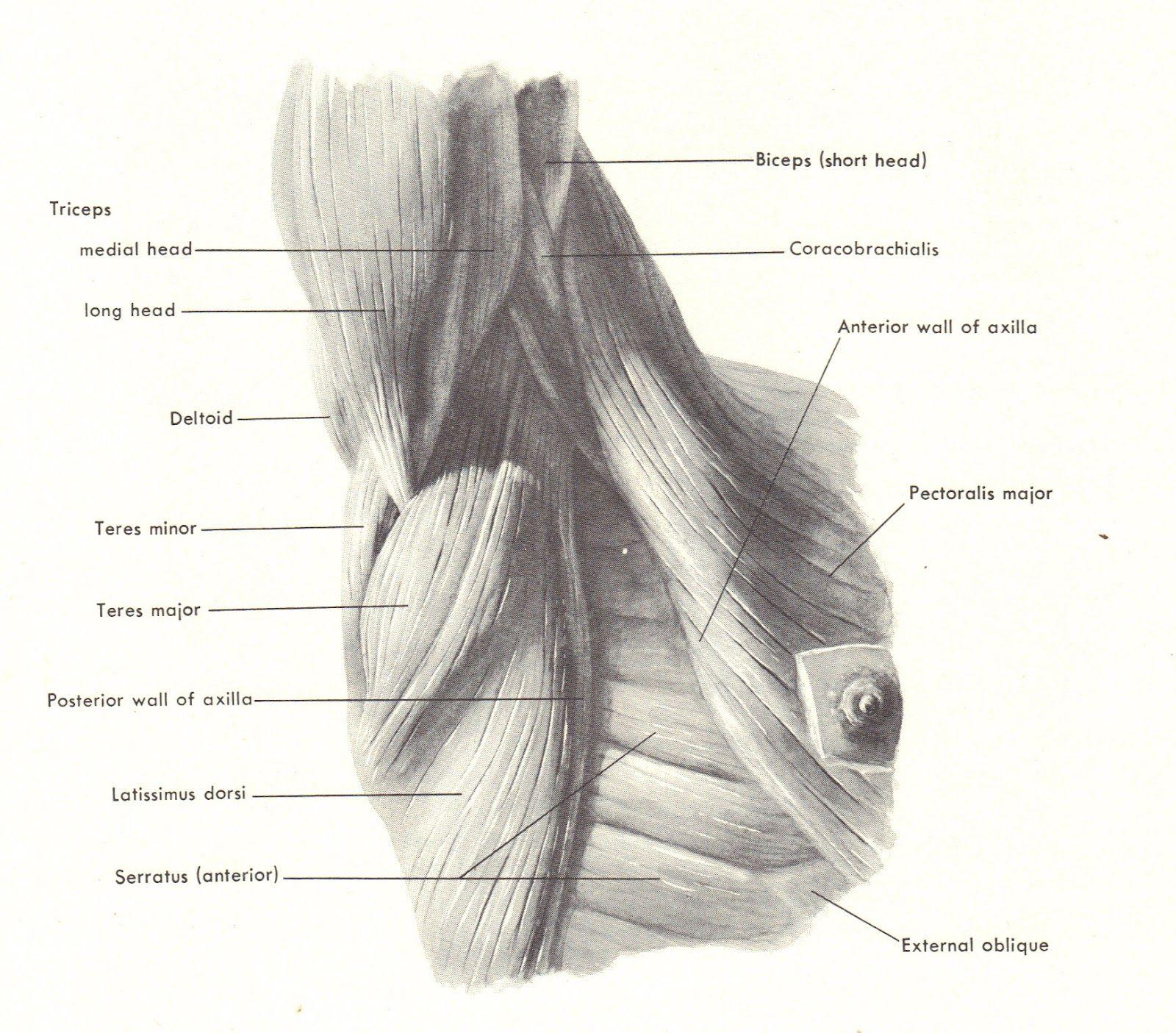 Vistoso Anatomía Axila Motivo - Anatomía de Las Imágenesdel Cuerpo ...