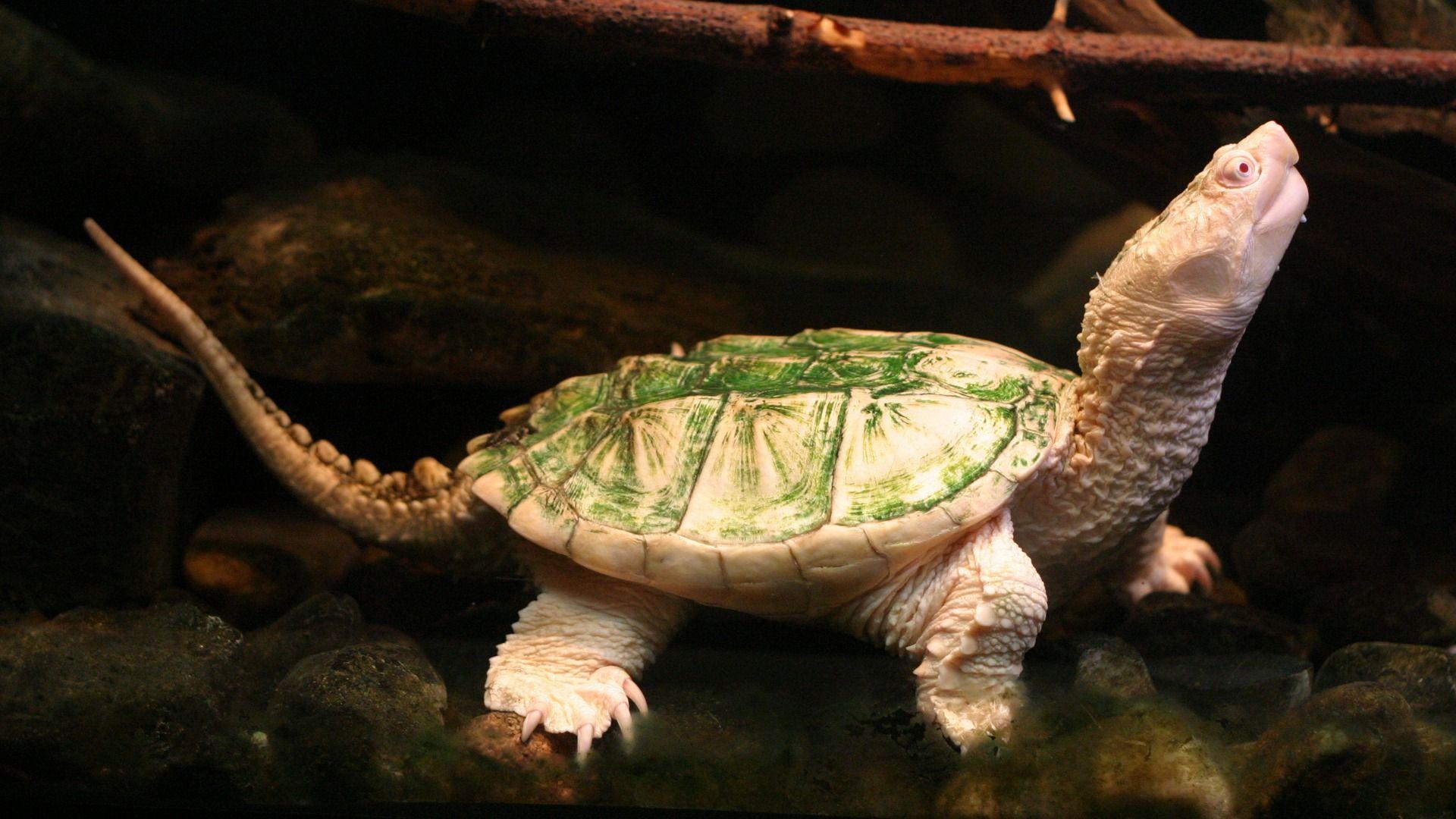Albino Turtle Wallpaper - 174292 | animal anatomy | Pinterest ...