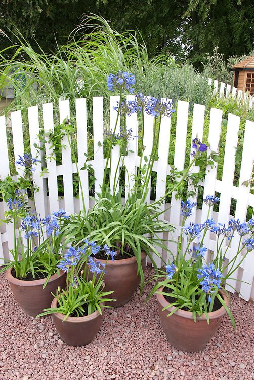 Containers Of Agapanthus Bulbs In Blue Blooms In Front Of White Picket Fence Flower Stock Photography Planting Flowers Agapanthus In Pots