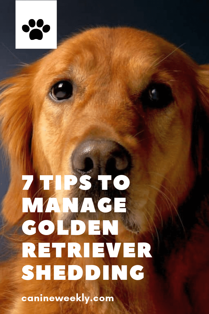 7 Top Tips To Manage Your Golden Retriever S Shedding Dog Grooming