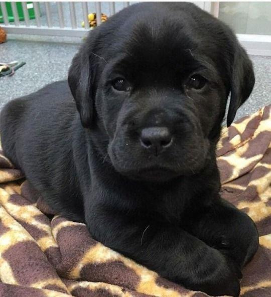 Goldenretriever Dogz Puppies Dogs Labrador Retriever