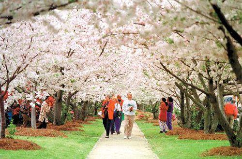 International Cherry Blossom Festival Since 1982 Cherry Blossom Festival Macon Macon Georgia