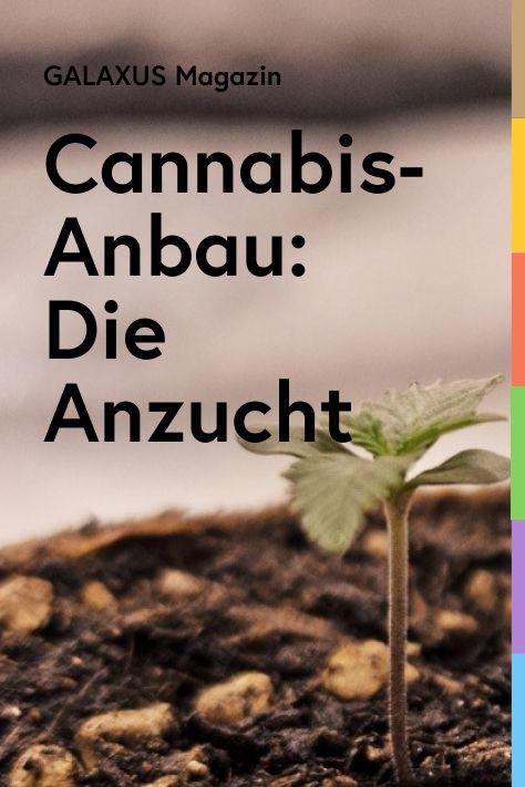 Da sind sie: Fünf weibliche Cannabis-Pflanzen erblicken das Zelt. Eine kommt mit Fehlbildung zur Welt. Doch vieren geht es wunderbar. In Folge zwei gibts erste Schnappschüsse der Weibchen und alles zur Anzucht. Bis zur Marihuana-Ernte dauert es noch. Genauer rund zwei Monate. Doch der erste Schritt ist getan. Pünktlich aufs Wochenende hin, am frühen Freitag-Abend – etwas nach 20 nach vier –, schaffen es die legalen Cannabis-Pflänzchen, sich aus der Erde zu erheben.
