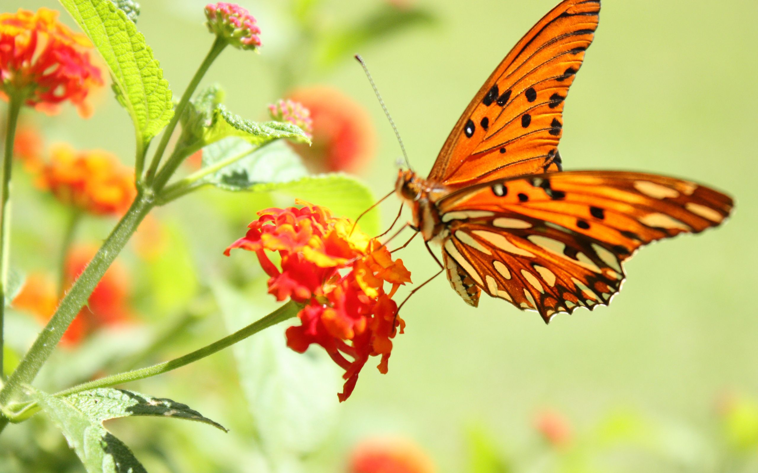 Exceptionnel Wallpaper Flower Butterfly Macro Desktop » Animals