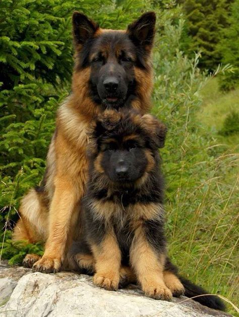 German Shepherd With Pup The Look On This Papa Dog S Face It