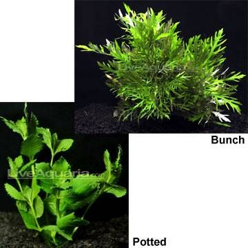 Pl Wisteria Potted Planted Aquarium Aquatic Plants Wisteria