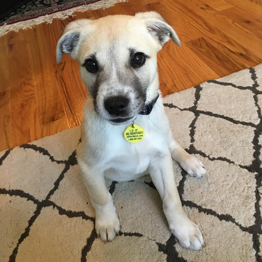 Amstaff American Staffordshire Terrier Great Pyrenees Mix